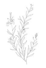 Dermyn - Centella asiatica - bidrar till hudens styrka och fasthet